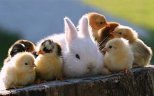 pictures-of-baby-animals-cute-chicks-and-rabbit